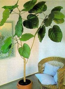 ficus auriculata ein zimmerbaum f r dunkle r ume mit riesenbl ttern ebay. Black Bedroom Furniture Sets. Home Design Ideas