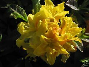 Garten-Azalee-Azalea-Goldpracht