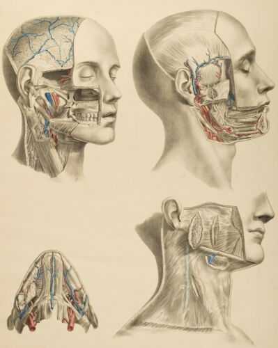 HUMAN ANATOMY SURGICAL ANATOMICAL TABLES SURGURY SKULL MOUTH HEAD 13X19 PRINT in Antiques, Science & Medicine (Pre-1930), Medicine | eBay