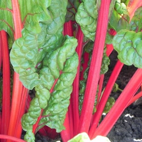 Heirloom SWISS CHARD Rhubarb Red (50 Seeds) Delicious! EZ to Grow, Long Lasting in Home & Garden, Yard, Garden & Outdoor Living, Flowers, Trees & Plants | eBay