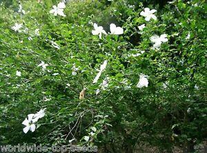 hibiskus eibisch hibiscus syriacus 100 exotische samen. Black Bedroom Furniture Sets. Home Design Ideas