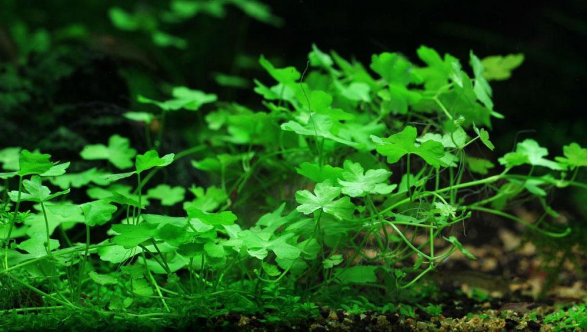 Details about *Hydrocotyle tripartita Japan Live Aquarium Plants