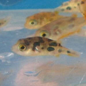 Freshwater Aquarium Fish on Indian Puffer For Live Freshwater Aquarium Fish   Ebay
