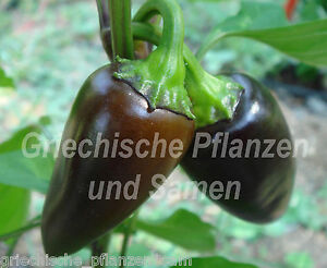 jalapeno purple chili paprika lila schwarz 10 samen ebay. Black Bedroom Furniture Sets. Home Design Ideas