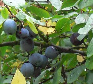 kirkespflaume pflaume sehr s buschbaum ca 120 150 cm im 10 liter topf ebay. Black Bedroom Furniture Sets. Home Design Ideas
