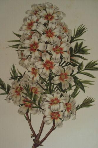 xanthoceras fleurs