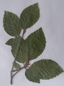laubbl tter 1 pflanze herbarium unter 800 pflanzen freie wahl uni biologie ebay. Black Bedroom Furniture Sets. Home Design Ideas