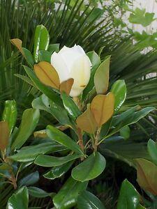 magnolia grandiflora gallisoniensis 140cm immergr ne wei e magnolie. Black Bedroom Furniture Sets. Home Design Ideas