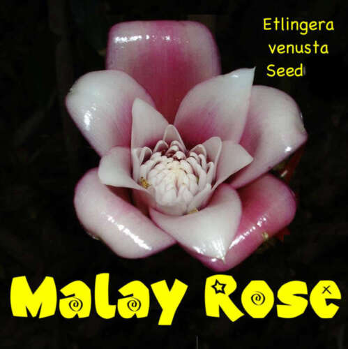 ~Malay Rose~ TORCH Ginger Seedling Etlingera venusta LIVE Plant Ready to Pot in Home & Garden, Yard, Garden & Outdoor Living, Flowers, Trees & Plants | eBay