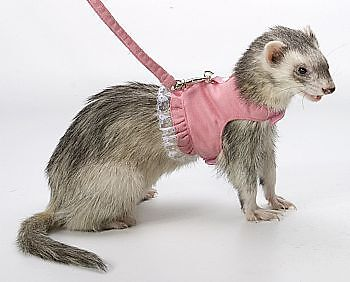 Marshall Ferret Toy Dog Fashion Harness Lead Pink Daisy with Lace in Pet Supplies, Small Animal Supplies | eBay