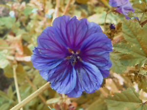 mauretanische malve lila blau wundersch ne bl ten ebay. Black Bedroom Furniture Sets. Home Design Ideas