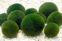 Moss Ball-live aquarium plant co2 diffuser fish tank decoration marimo O in Pet Supplies, Aquarium & Fish, Aquariums | eBay
