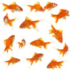 Neu wandtattoo 14 goldfische wandgestaltung fische tiere for Fische goldfische