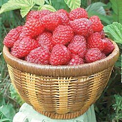 "*NEW*GIANT RASPBERRY of JILIN CHINA* ""Fengmanhong"" *25 seeds*Exotic*RARE*#1089-A in Home & Garden, Yard, Garden & Outdoor Living, Flowers, Trees & Plants 