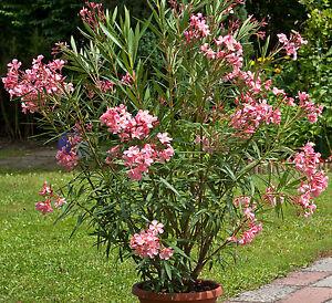 oleander nerium oleander 20 samen rosenlorbeer sch ne bl ten mediterran ebay. Black Bedroom Furniture Sets. Home Design Ideas