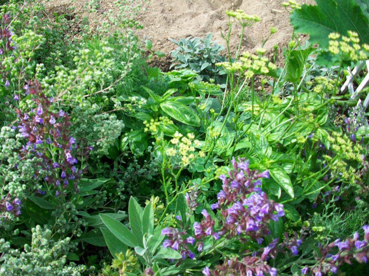 Wild Backyard Herbs : Wild Cooking Herb Seeds Grow A Kitchen Herb Garden 50 Mixed Seeds