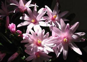 Osterkaktus Hatiora hellrosa breite große Blütenblätter . - NRW, Deutschland - Osterkaktus Hatiora hellrosa breite große Blütenblätter . - NRW, Deutschland