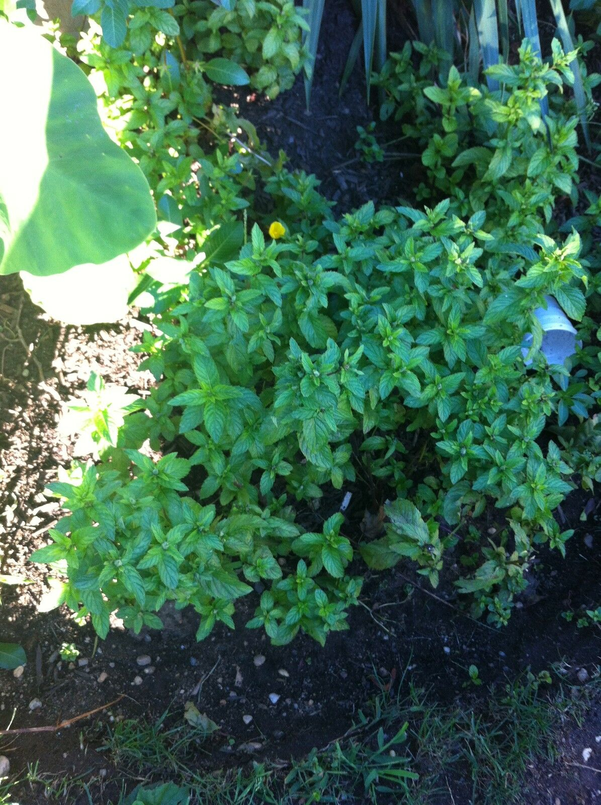 Peppermint plant live plant roots great tea making plant for Winter pond plants