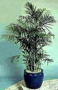 Palme f rs zimmer bergpalme der nat rliche luftfilter ebay - Palme zimmer ...