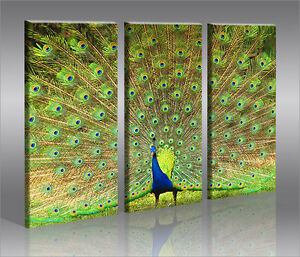 peacock pfau 3 bilder bild vogel natur auf leinwand. Black Bedroom Furniture Sets. Home Design Ideas