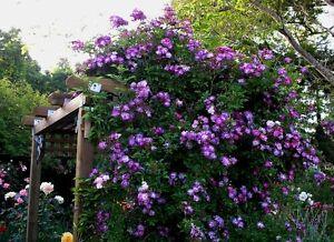 rose bush rambler veilchenblau thornless the veil of. Black Bedroom Furniture Sets. Home Design Ideas