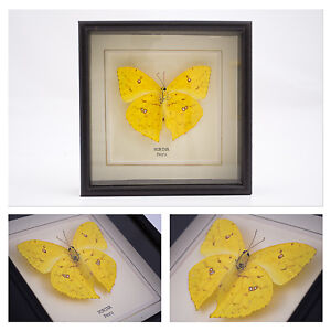Real-Rurina-Butterfly-Hand-Set-and-Framed-in-UK-Beautiful-Gift-Taxidermy