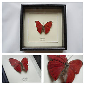 Real-Sangaris-Butterfly-Hand-Set-and-Framed-in-UK-Beautiful-Gift-Taxidermy