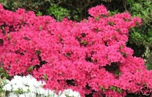 Rhododendron-obtusum-im-Container-20-25-cm
