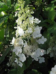 rispenhortensie hydrangea paniculata levana s 40 60cm. Black Bedroom Furniture Sets. Home Design Ideas