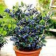 *SWEET* DWARF BLUEBERRY *50 seeds*RARE*FUN-4-KIDS* IDEAL FOR CONTAINERS* #1019-A in Home & Garden, Yard, Garden & Outdoor Living, Flowers, Trees & Plants | eBay