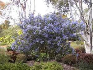 Saeckelblume-schoener-blaubluehender-Zwergstrauch-30-40-cm
