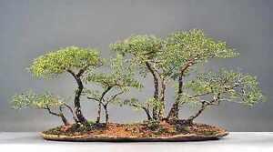 schnell und leichter innen bonsai b ume vor samen acacia. Black Bedroom Furniture Sets. Home Design Ideas