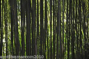 Schwarzer-Riesenbambus-Dendrocalamus-strictus-1000-Samen