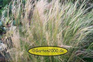 Stipa-Tinuifolia-Federgras-Bueschelhaargras