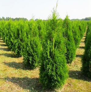 Thuja-Smaragd-100-120-cm-inkl-Versand-35-Pflanzen-379-Heckenpflanze