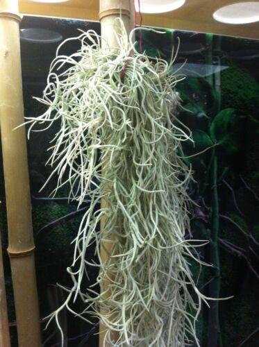 Tillandsien bart spanisches moos greisenbart ca 40 cm wohnzimmer terrarium ebay - Tillandsien deko ...