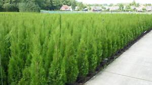 topfware heckenpflanze lebensbaum thuja occidentalis smaragd edelthuja 100cm ebay. Black Bedroom Furniture Sets. Home Design Ideas