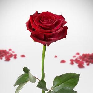 unverg ngliche rose ewige rose haltbar konserviert. Black Bedroom Furniture Sets. Home Design Ideas