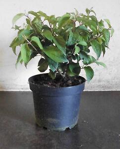 viburnum plicatum newport 20 30 cm gef llter japanischer schneeball ebay. Black Bedroom Furniture Sets. Home Design Ideas