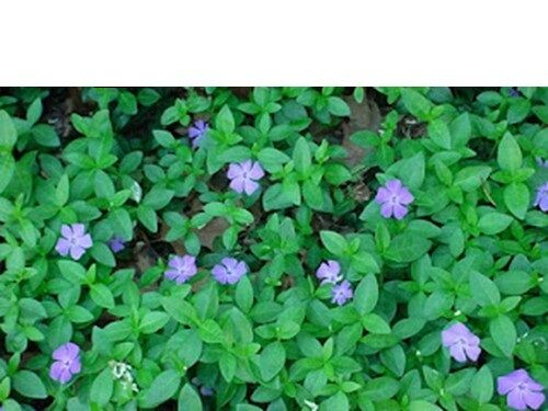 Periwinkle Myrtle Purple Flower Ground Cover Hanging