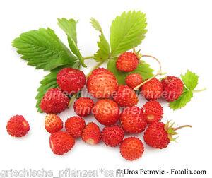 wald erdbeere 30 samen aromatische kleine erdbeeren. Black Bedroom Furniture Sets. Home Design Ideas