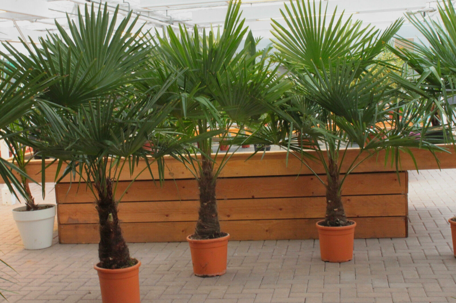 winterharte palme 180cm xxl hanfpalme 18 c trachycarpus fortunei palmen ebay. Black Bedroom Furniture Sets. Home Design Ideas