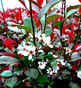 Zwerg-Blutpflaume-ca-100-120-cm-Prunus-cistena-Zwergblutpflaume-Kirschpflaume