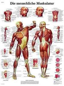 menschliches-Muskelsystem-Muskulatur-Lehrtafel-Anatomie-50-x-67cm-Poster