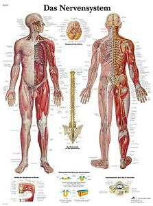 menschliches-Nervensystem-Lehrtafel-Anatomie-50-x-67cm-Poster