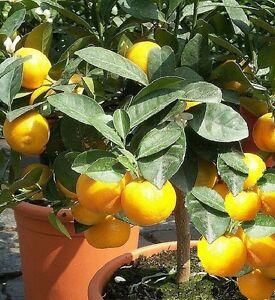 Schnellw chsiger zitronen orange baum winterhart in for Pflanzen laden berlin