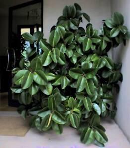 sehr schnellw chsige zimmerpflanze baum ficus altissima ebay. Black Bedroom Furniture Sets. Home Design Ideas