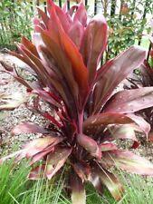 Red Cordyline Seeds 4m Elegant Versitile Indoor Outdoor Rainforest Evergreen