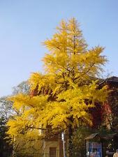 hardy Maidenhair Tree GINKGO BILOBA livingfossil plant fan shaped leaves 8cm pot
