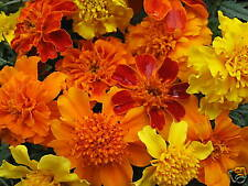 Mixed Marigold Seeds, Farm Mix, French Marigolds, Non-Gmo Heirloom Seeds, 100ct